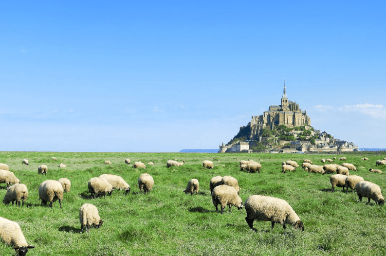 Sheep of Mont Saint Michel Finding France