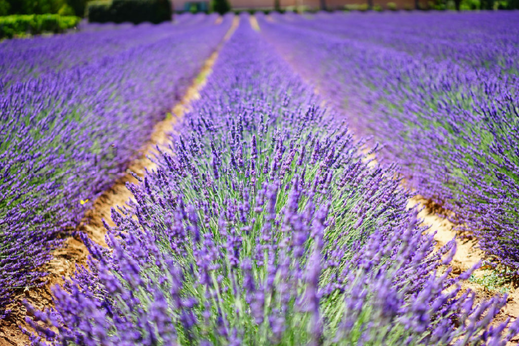 Champs de lavandes Provence Lavender fields Finding France